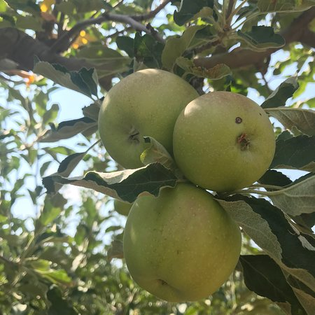 Hotchkiss, CO: apples