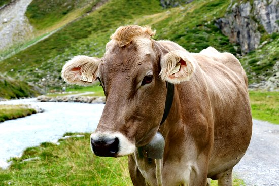 Otztal, Austria: Cows coming down from the mountains