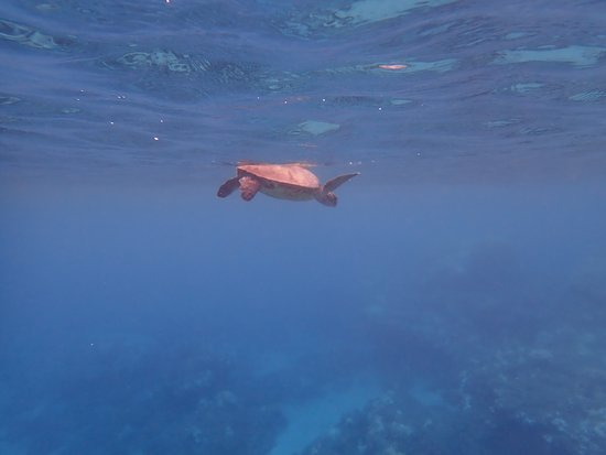 Honolua Bay: One of the many turtles we saw here.
