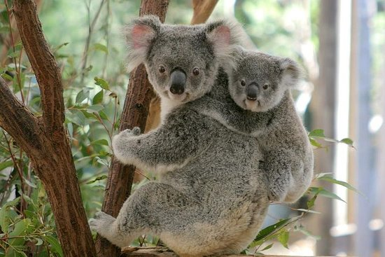 Lone Pine Koala Sanctuary-Tagespass