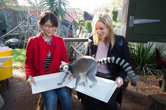 アデレード動物園、舞台裏での経験:レムル飼育