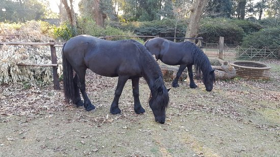 Hilton, Sydafrika: Beautiful Friesian horses