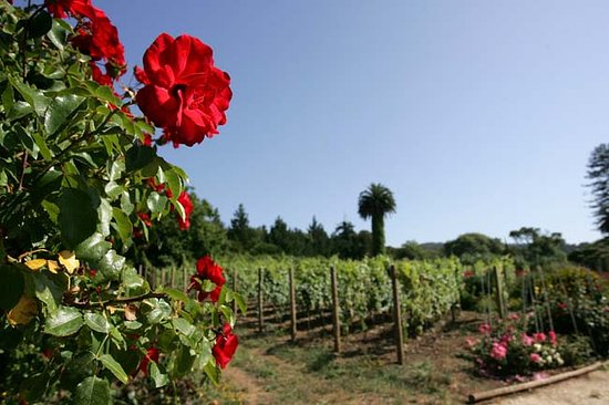 Colares, Portugal: Roses and Vineyards. Casal Sta Maria has over 3,000 Roses planted