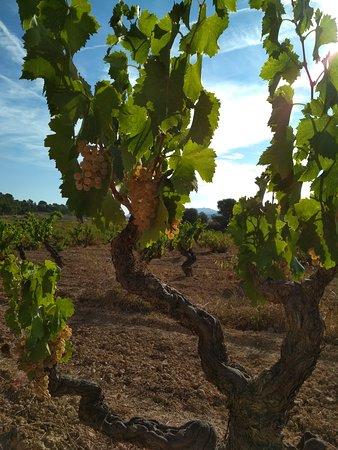 Bot, Spain: Garnacha blanca. La joya de la Terra Alta