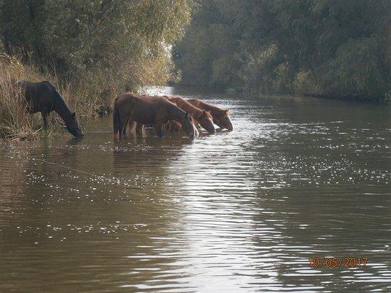 "Crisan, โรมาเนีย: ""Wild"" horses drinking"