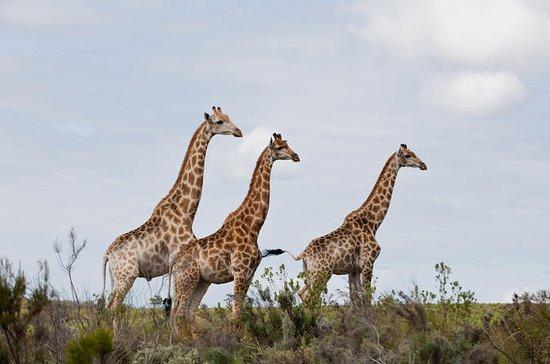 Halbe Tag Kragga Kamma Safari in Port...