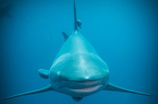 Shark Diving on Aliwal Shoal with...