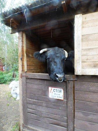 "Zoo Studio Kovcheg: ""Страшный"" бык"