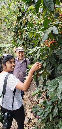 Quellomayo, Perù: Their coffee plants