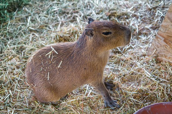 Eagar, Аризона: Capybaras are the world's largest rodent. We happen to think they're pretty cute.