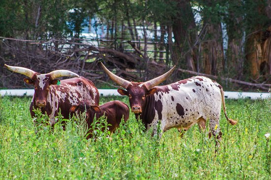 Watusi roaming at R Lazy J Ranch in Eagar, AZ!