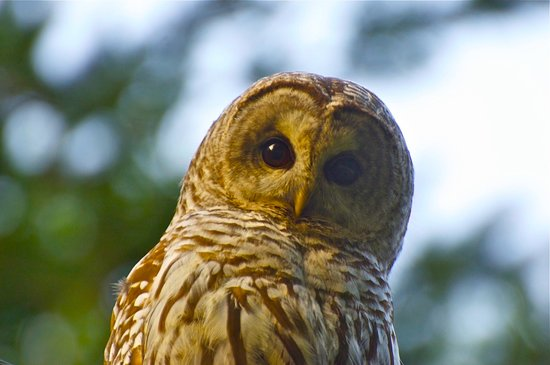 Cortes Island, แคนาดา: Seasonal owl visitors