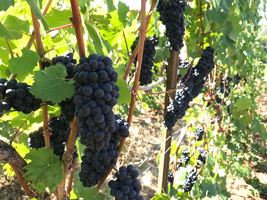 Winter's Hill Estate: Pinot noir grapes ready to pick