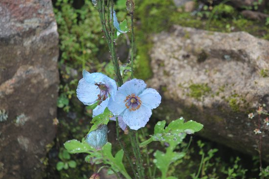 The Blue Poppy Flower Picture Of Valley Of Flowers Hemkunt Sahib