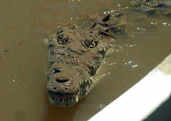 Brasilito, Costa Rica: Close up with the Crocodiles