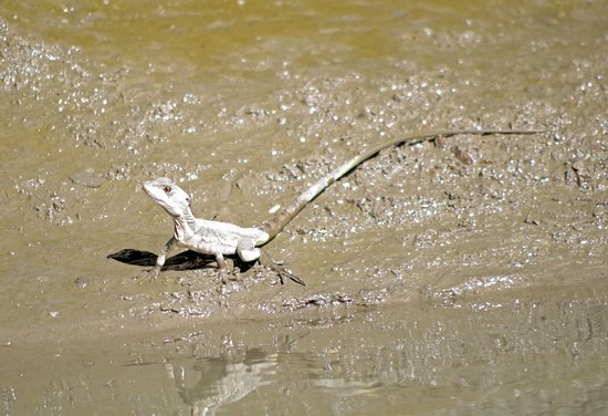 Brasilito, Costa Rica: Jesus Christ Lizard (walks on water)
