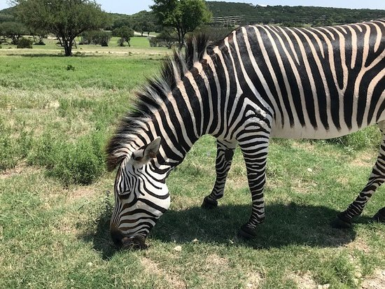 Fossil Rim Wildlife Center: This zebra ignored us. But they had about 6 total zebras