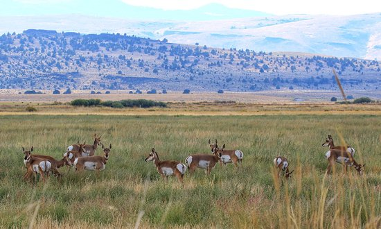 Summer Lake, OR: Wild Pronghorn Antelope near the lodge