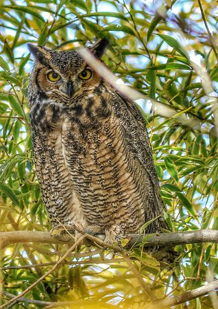 Summer Lake, OR: One of three Great Horned Owls we saw at the nature preserve
