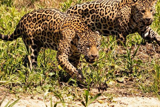 Pantanal Safaris: Prowling & growling 5 metres away from the boat