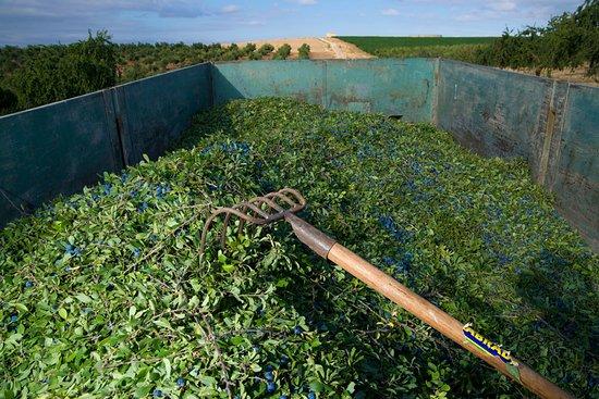 Dicastillo, Spain: Controlamos el 100% de nuestro cultivo navarro para la elaboración de Zoco