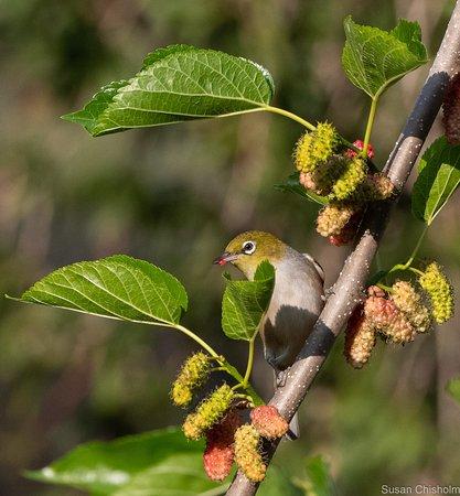 Coochin, ออสเตรเลีย: Silvereye feeding on mulberries at Bilyana Cottages