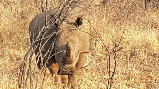 Kruger National Park: קרנף בפארק מקללי