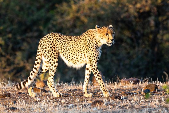 Mashatu Game Reserve, Botswana: One of the many Cheetahs you will see