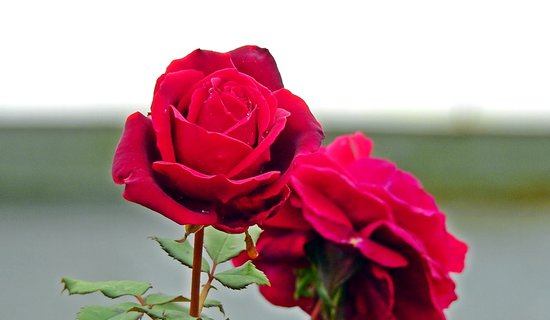 Scotney Castle Garden: Beautiful Roses