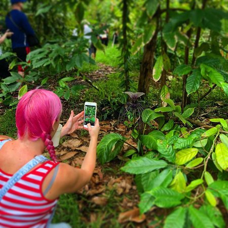 Photos from the chocolate farm - Garden Island Chocolate, Kilauea ...
