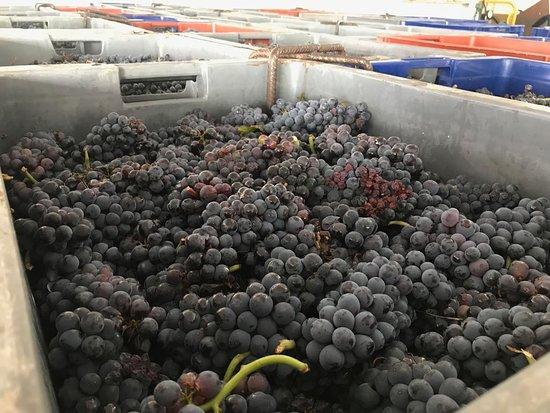 Mareuil-sur-Ay, Франция: Pinot Noir - the harvest