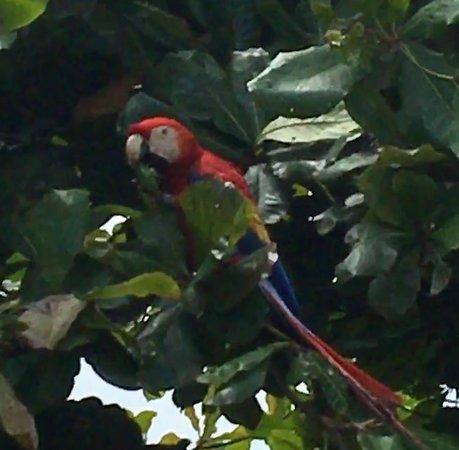 Punta Islita, Costa Rica: Scarlett Macaw in a tree at breafast time