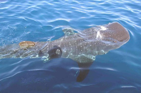Whale Shark Group Adventure fra Isla...