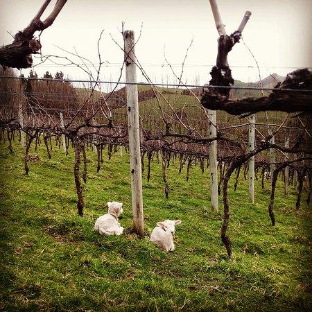 Akaroa, نيوزيلندا: Lambies