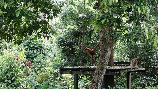 Sepilok Orangutan Sanctuary: DSC04216_large.jpg