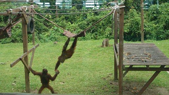 Sepilok Orangutan Sanctuary: DSC04198_large.jpg