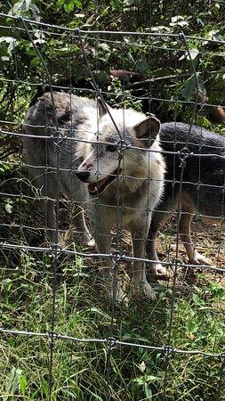 Wolf Sanctuary of PA Photo