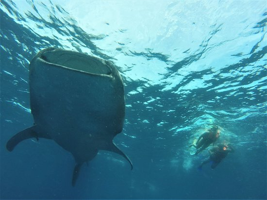 ‪‪Private Whale Shark Adventure Tour from Cancun and Riviera Maya‬: cruising along with this big mama while she enjoys her breakfast‬