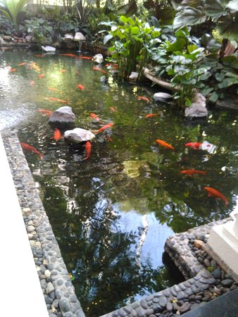 Ikan Koi Yang Besar Dan Sehat Picture Of Anantara Siam Bangkok