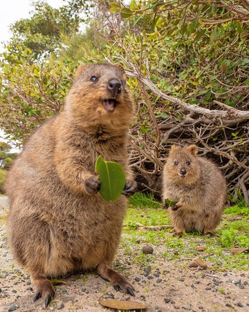 Australia: How adorable are the Quokkas on Rottnest Island?! 😍