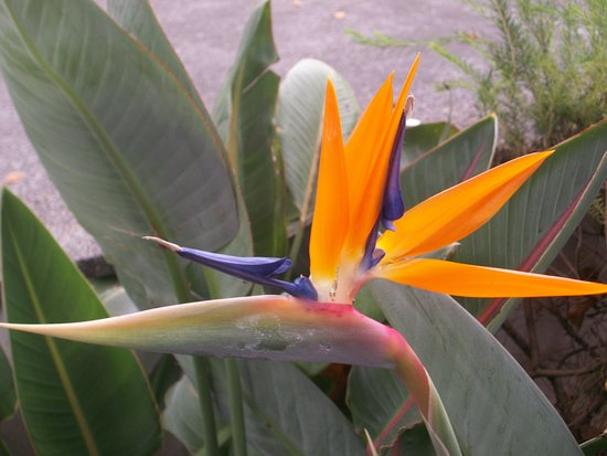 Bird of Paradise all over grounds