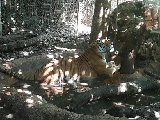 Santa Eugenia, Spanyol: Tigre
