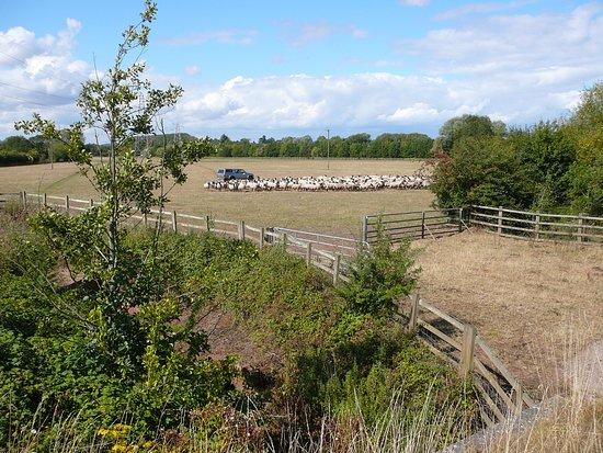Powick sheep dip time