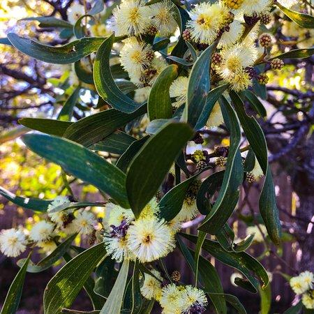Mount Blackheat Lookout: Spring wattle and cherry blossoms Blackheath