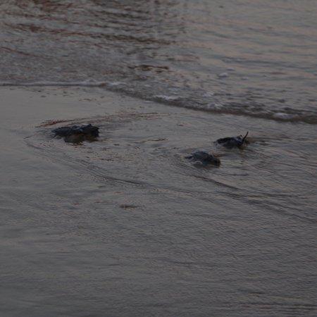 Playa Troncones: Troncones turtle release 2017