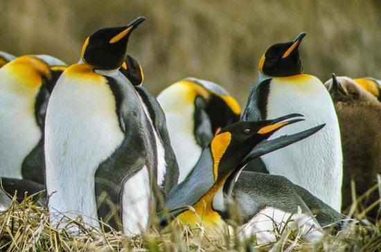 Tour King Penguin e Tierra del Fuego