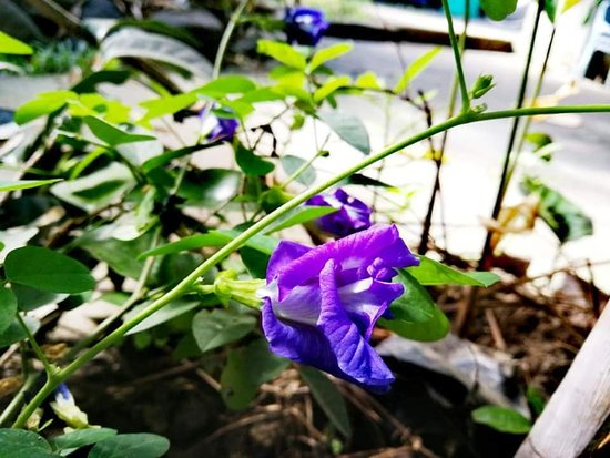 San Pablo City, الفلبين: Blue Tarnate sa Forest Wood Garden lang ako nakakita nito. 