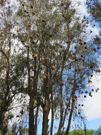 West Coast National Park, Sydafrika: weaver birds' nests