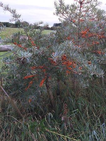 Morston, UK: Sea buckthorn on the coastal path to Blakeny