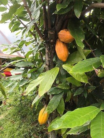 Holualoa, HI: 初めて実物を見た カカオ